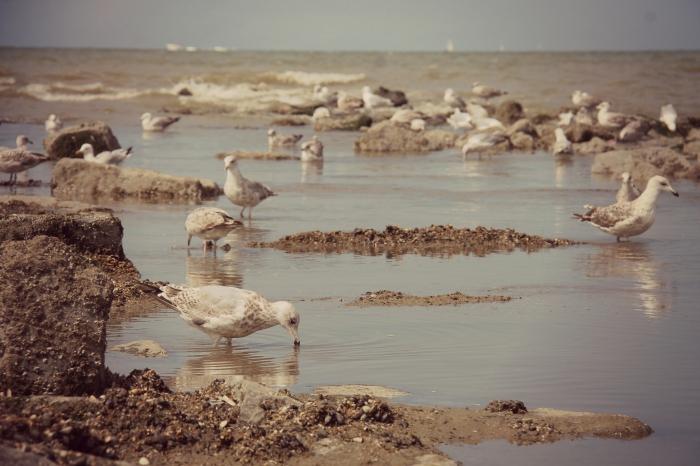 Zilvermeeuwen op strandhoofd