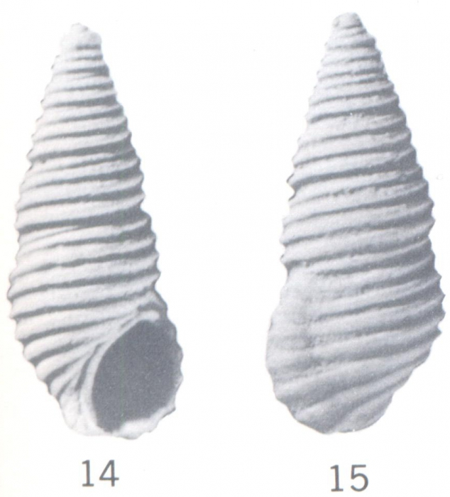 Stosicia gardnerae (Ladd, 1966)