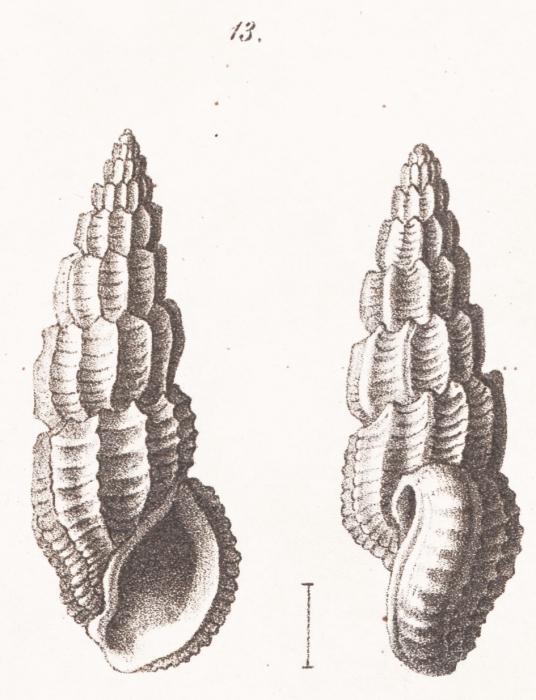 Rissoina lamellosa f. mioschwartziana Sacco, 1895