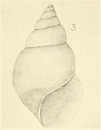 Rissoina (Eatoniella) cuvieriana Suter, 1908