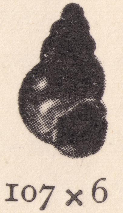 Rissoina nelsoni Grabau & King, 1928