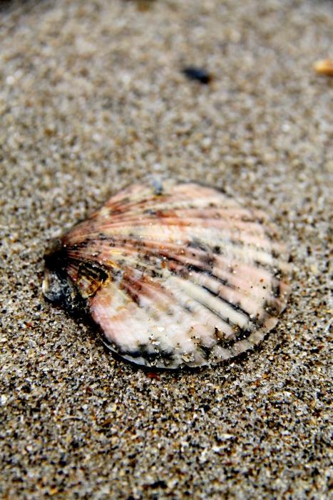 St. James' shell