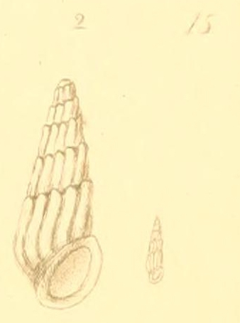 Rissoina conifera (Montagu, 1803)