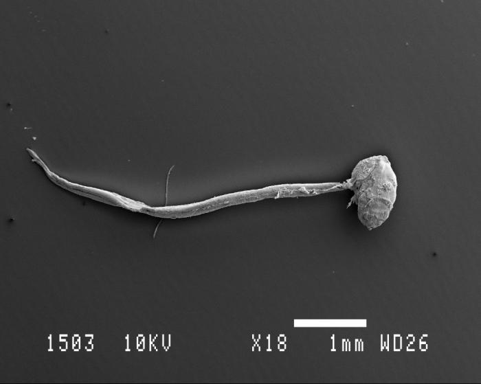 Oikopleura Scanning electron microscopy