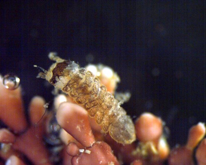 Joeropsis sp