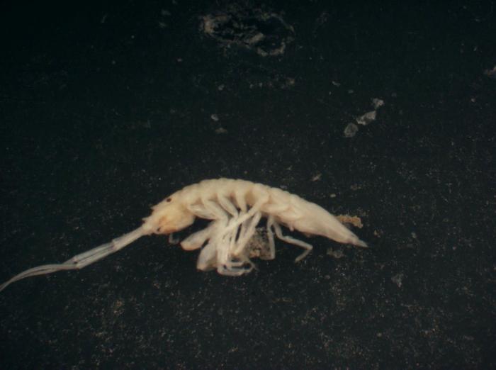 Stenetriidae sp