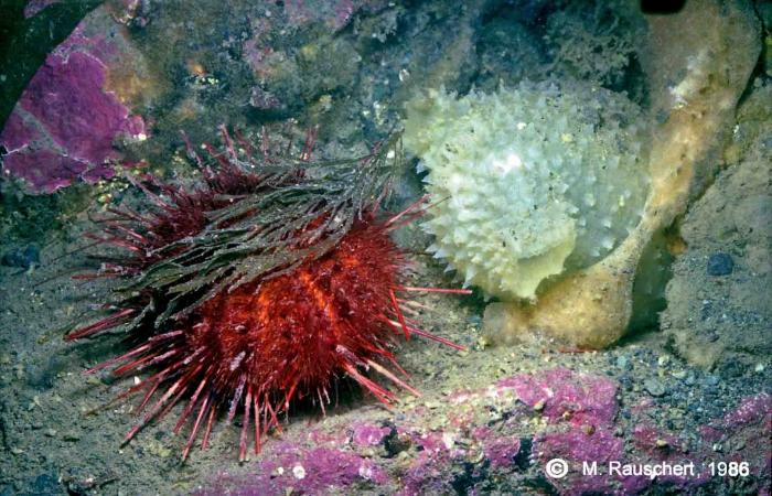 Sterechinus neumayeri & Cnemidocarpa verrucosa
