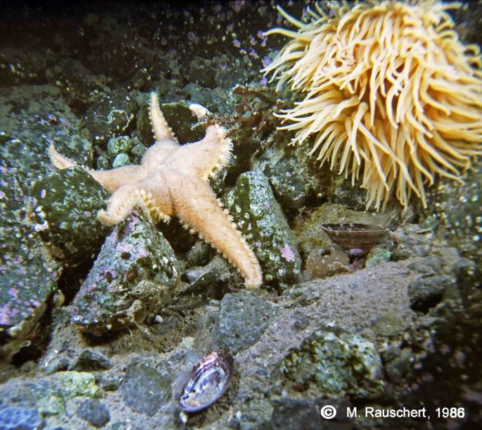 Cuenotaster involutus & Urticinopsis antarctica