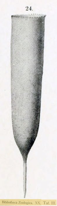 Illustration from the species description by Brandt
