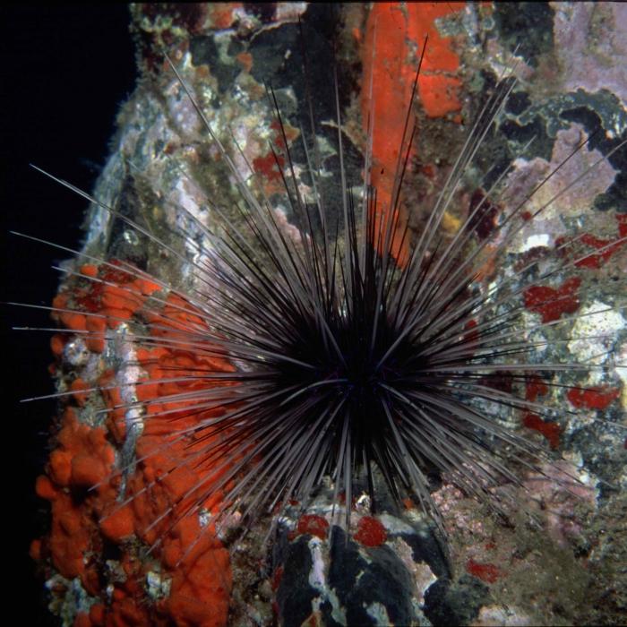 Diadema antillarum (Madeira)