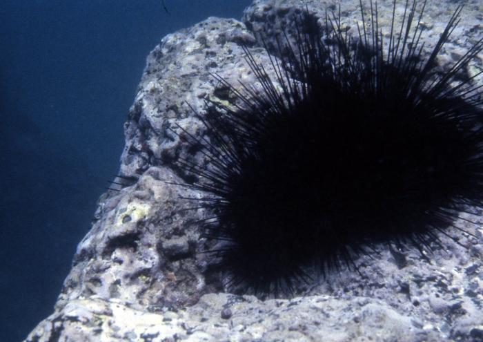 Diadema mexicanum (Galapagos)
