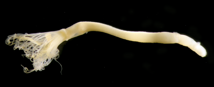 Phoronis emigi