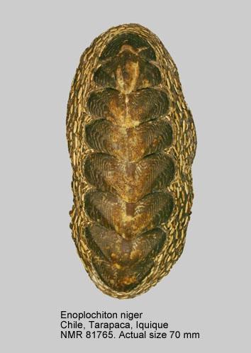 Enoplochiton niger