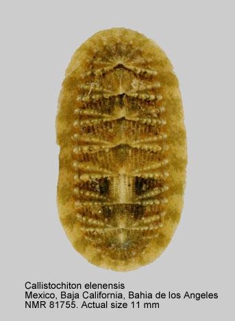 Callistochiton elenensis