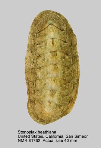 Stenoplax (Stenoradsia) heathiana