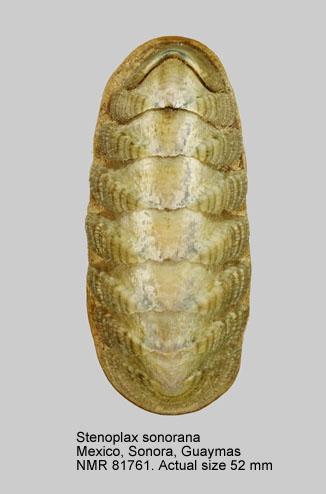 Stenoplax (Stenoradsia) sonorana
