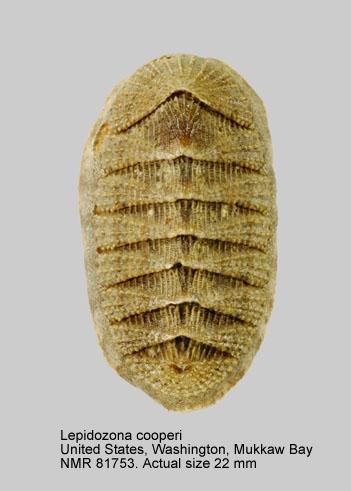 Lepidozona cooperi