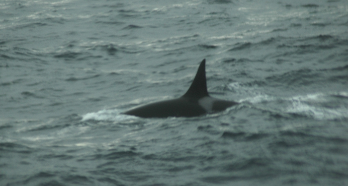 Orcinus orca