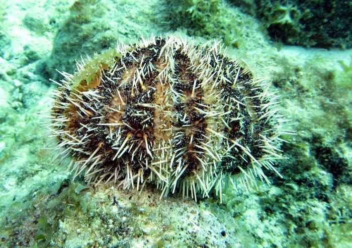 Tripneustes ventricosus (Curacao)