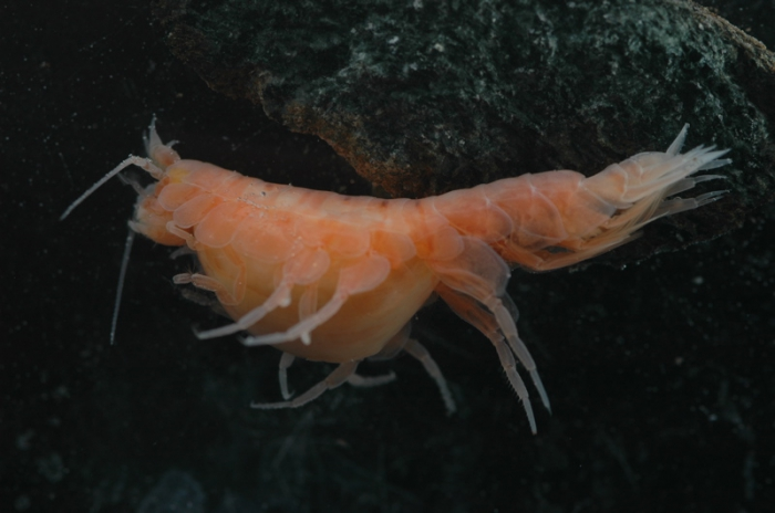 Paracallisoma sp.
