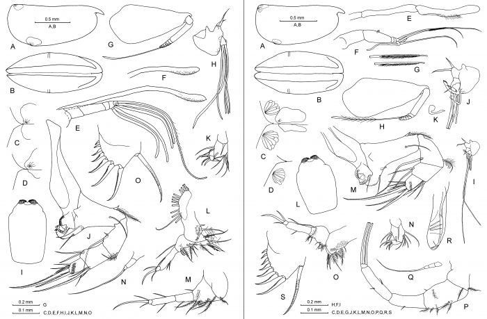 Proceroecia macroprocera (Angel, 1971)