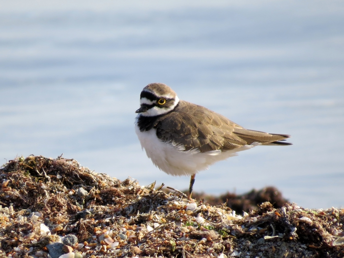 Little ringed plover (Charadrius dubius)