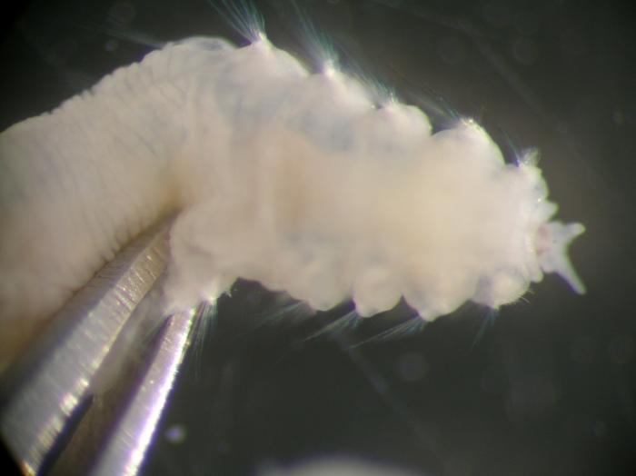 Sclerocheilus minutus