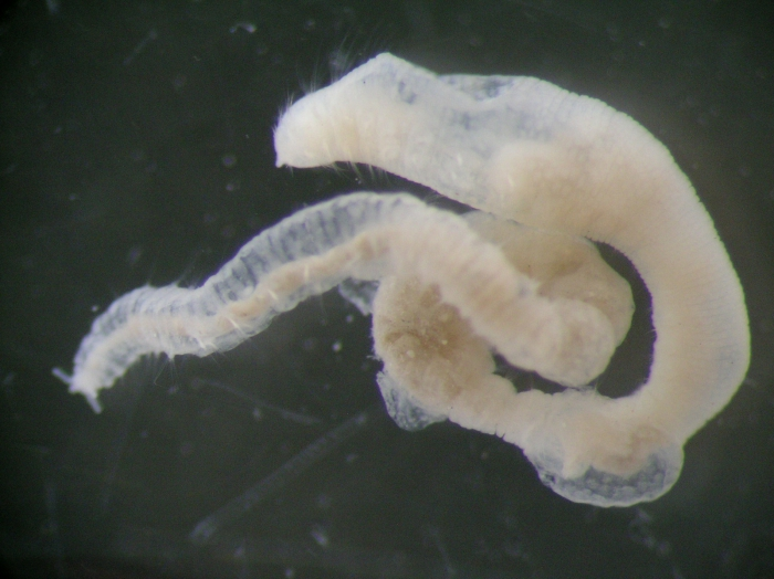 Asclerocheilus intermedius