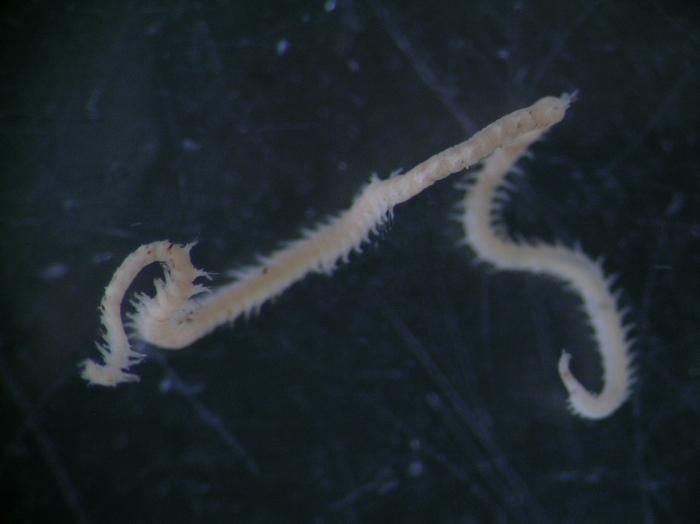 Goniadella gracilis