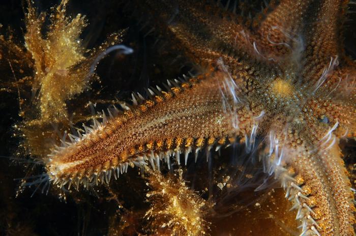 Astropecten spinulosus (reproduction)