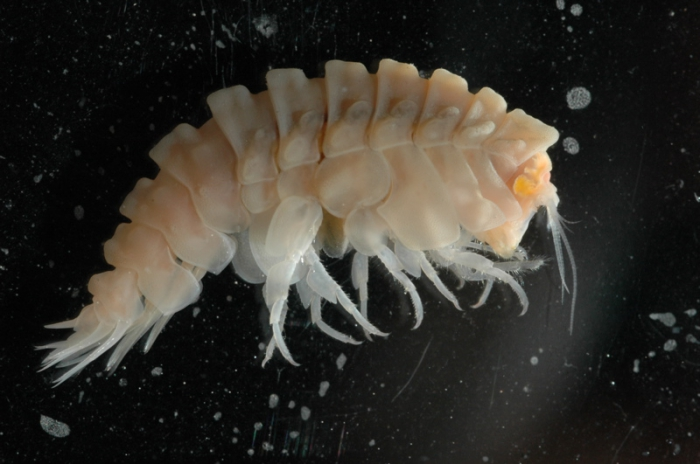 New amphipod species