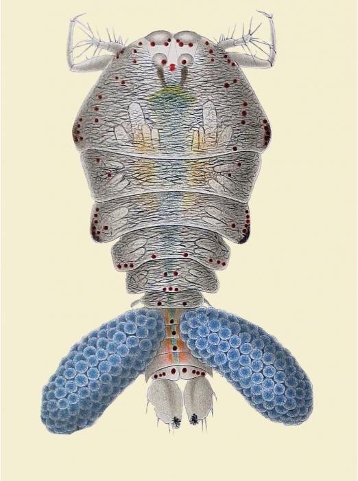 Sapphirina auronitens
