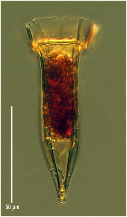 Ormosella haeckeli