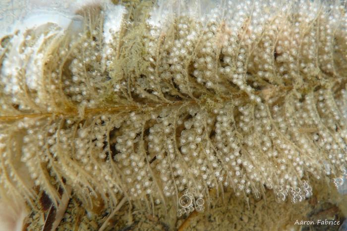 Sertularia cupressina (Linnaeus, 1758)