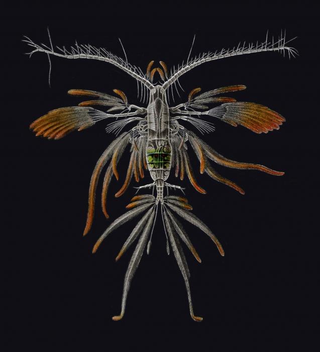 Euaugaptilus filigerus