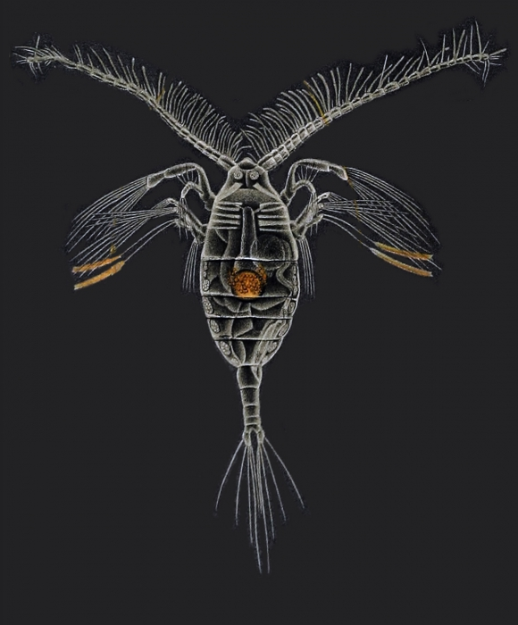 Haloptilus longicornis
