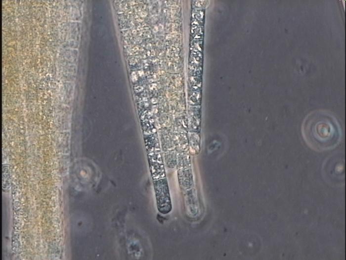 Aphanizomenon flos-aquae (Linné) Ralfs ex Born. et Flah. 1888