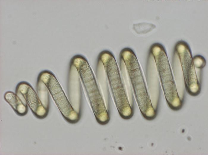 Arthrospira fusiformis