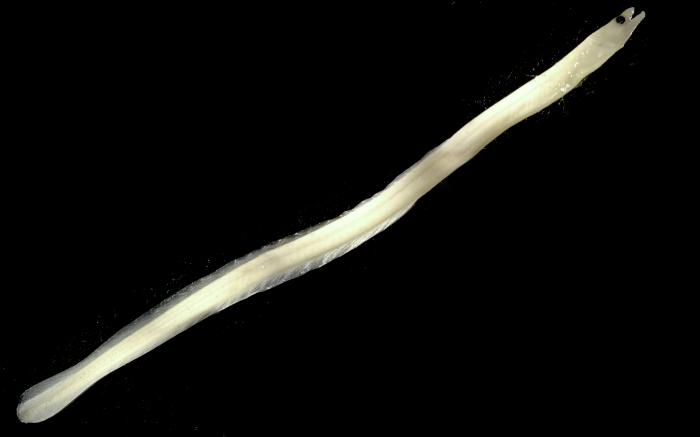 Anguilla rostrata larvae