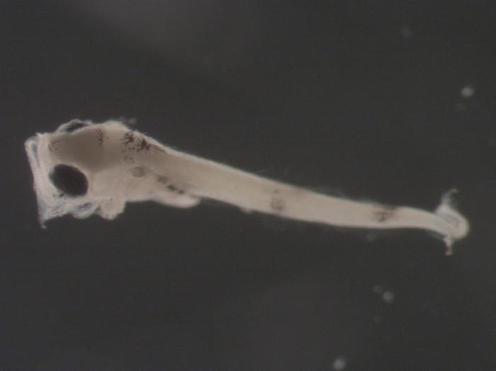Merluccius bilinearis larvae
