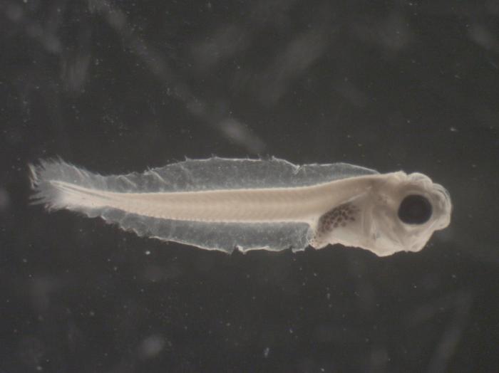 Myoxocephalus octodecemspinosis larvae