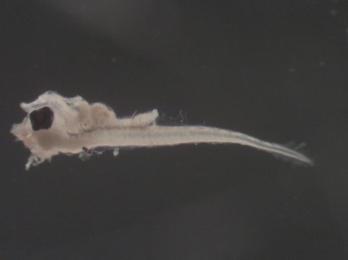 Peprilus triacanthus larvae