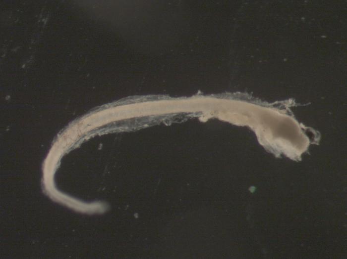 Pseudopleuronectes americanus larvae