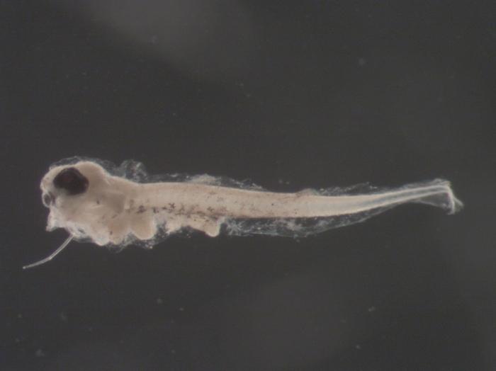 Scophthalmus aquosus larvae
