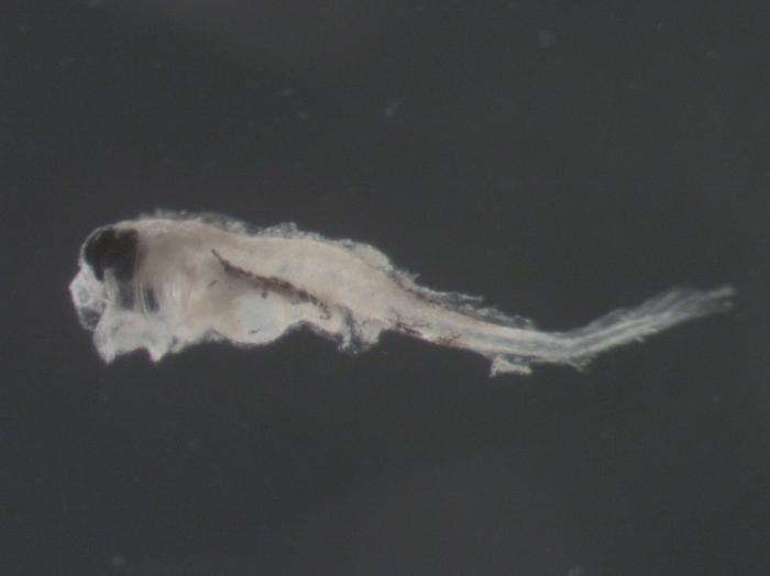 Urophycis sp larvae