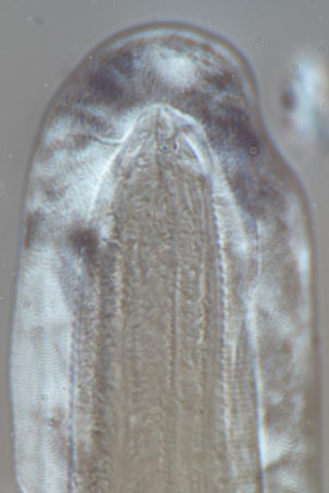 Lectotype juvenile anterior end