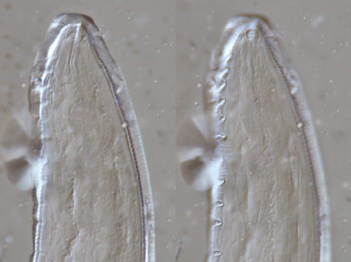 Lectotype male anterior