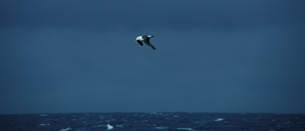 Black-Browed Albatross06