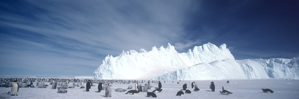 Emperor Penguin crop cover