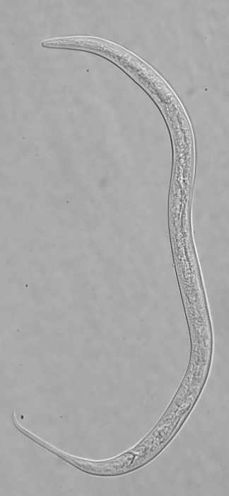 Holotype male